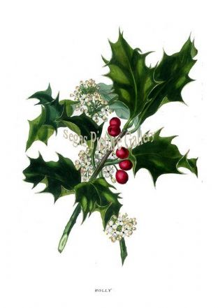 Holly by Rebecca Hey 1837